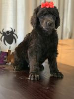 Poodle Puppies for sale in Fernley, NV, USA. price: NA