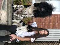 Poodle Puppies for sale in Washington, MI 48094, USA. price: NA