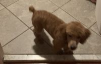 Poodle Puppies for sale in Clinton, MD, USA. price: NA