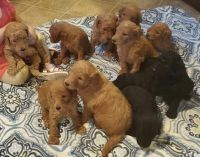 Poodle Puppies for sale in Arcadia, FL 34266, USA. price: NA
