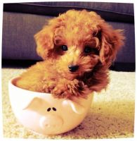 Poodle Puppies for sale in Los Angeles, CA 90014, USA. price: NA