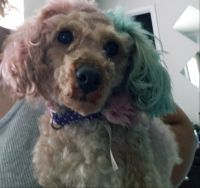 Poodle Puppies for sale in Little Elm, TX, USA. price: NA