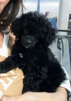 Poodle Puppies for sale in Brentwood, TN, USA. price: NA