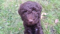 Poodle Puppies for sale in Grundy Center, IA 50638, USA. price: NA