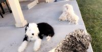 Poodle Puppies for sale in Fort Collins, CO, USA. price: NA