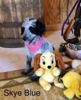Poodle Puppies for sale in Mt Gilead, NC 27306, USA. price: NA