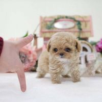 Poodle Puppies for sale in Dickson, TN, USA. price: NA