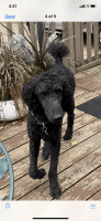 Poodle Puppies for sale in Eau Claire, WI, USA. price: NA