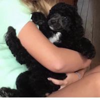 Poodle Puppies for sale in Flowery Branch, GA 30542, USA. price: NA