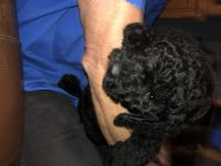 Poodle Puppies for sale in Anderson, SC, USA. price: NA