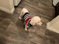 Poodle Puppies for sale in 12402 N 15th St, Tampa, FL 33612, USA. price: NA