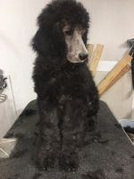 Poodle Puppies for sale in Colorado Springs, CO, USA. price: NA