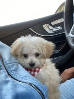 Poodle Puppies for sale in Costa Mesa, CA, USA. price: NA