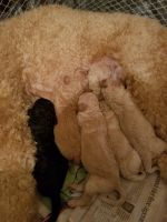 Poodle Puppies for sale in Bay City, MI, USA. price: NA