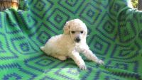 Poodle Puppies for sale in New Mexico State Line, Clayton, NM 88415, USA. price: NA