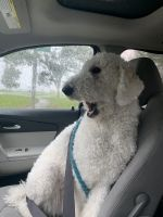 Poodle Puppies for sale in Havelock, NC, USA. price: NA