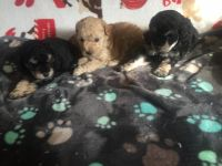 Poodle Puppies for sale in Forsyth, MO 65653, USA. price: NA