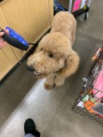 Poodle Puppies for sale in Lacey, WA 98516, USA. price: NA