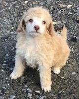 Poodle Puppies for sale in Helena, MT, USA. price: NA