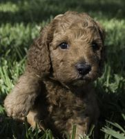 Poodle Puppies for sale in Bradenton, FL, USA. price: NA