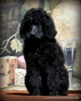 Poodle Puppies for sale in Bend, OR, USA. price: NA