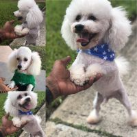 Poodle Puppies for sale in Miami Gardens, FL, USA. price: NA
