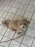 Poodle Puppies for sale in 15800 NW 42nd Ave, Miami Gardens, FL 33054, USA. price: NA