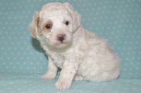 Poodle Puppies for sale in Phoenix, AZ, USA. price: NA