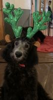 Poodle Puppies for sale in Sanborn, NY 14132, USA. price: NA