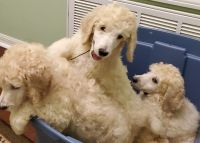 Poodle Puppies for sale in Mobile, AL, USA. price: NA