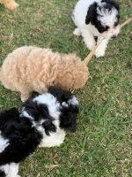 Poodle Puppies for sale in Groves, TX 77619, USA. price: NA