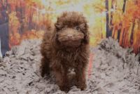 Poodle Puppies for sale in Las Vegas, NV 89139, USA. price: NA
