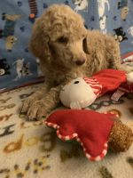 Poodle Puppies for sale in Alliance, OH 44601, USA. price: NA