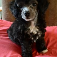Poodle Puppies for sale in 111 Lake Ave, Dudley, NC 28333, USA. price: NA