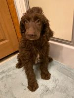 Poodle Puppies for sale in Finlayson, MN 55735, USA. price: NA