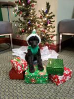 Poodle Puppies for sale in Ocala, FL, USA. price: NA