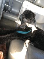 Poodle Puppies for sale in Beaumont, TX, USA. price: NA
