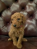 Poodle Puppies for sale in UT-128, Utah, USA. price: NA