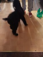 Poodle Puppies for sale in Syracuse, NY, USA. price: NA