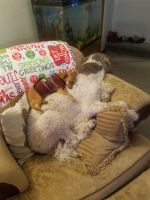 Poodle Puppies for sale in Spearfish, SD, SD, USA. price: NA