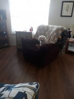Poodle Puppies for sale in Lynchburg, VA, USA. price: NA