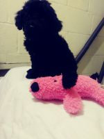 Poodle Puppies for sale in Columbus, GA, USA. price: NA