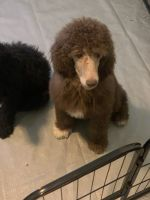 Poodle Puppies for sale in Lake Norman of Catawba, NC, USA. price: NA