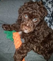 Poodle Puppies for sale in Mt Angel, OR 97362, USA. price: NA