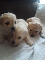 Poodle Puppies for sale in 8028 Wichita St #89, Fort Worth, TX 76140, USA. price: NA