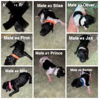 Poodle Puppies for sale in Fort Smith, AR, USA. price: NA
