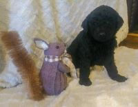 Poodle Puppies for sale in Decatur, AL, USA. price: NA
