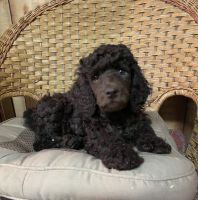Poodle Puppies for sale in Allendale, Allendale Charter Twp, MI, USA. price: NA
