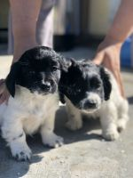 Poodle Puppies for sale in San Bernardino, CA, USA. price: NA