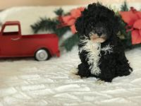 Poodle Puppies for sale in Belton, TX, USA. price: NA